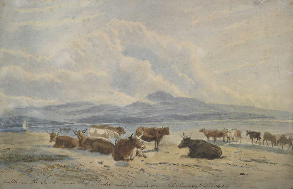 Cattle on the sands near Port Madoc, North Wales