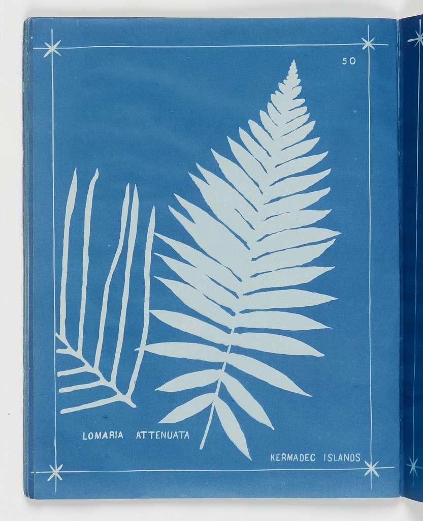 Lomaria attenuata, Kermadec Islands.  From the album: New Zealand ferns,148 varieties