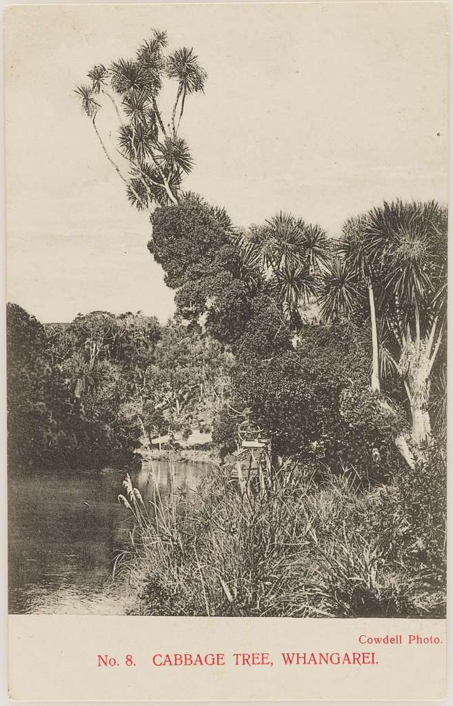 Cabbage Tree, Whangarei